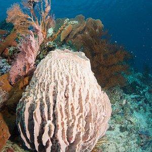 Beautiful barrel sponge at Menjangan Island