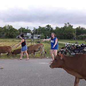 motorbike and cow in Vietnam
