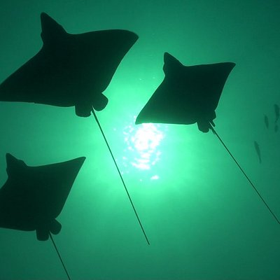 Eagle Rays of Hawaii
