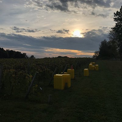 Sunset over the vineyard, overlooking the bins from harvest.