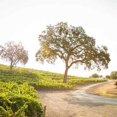 The Westside estate vineyard features historic Paso Robles Oak trees.