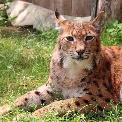 Lynx at Animal Adventures