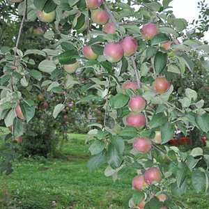 We have pick-your-own and pre-picked apples.