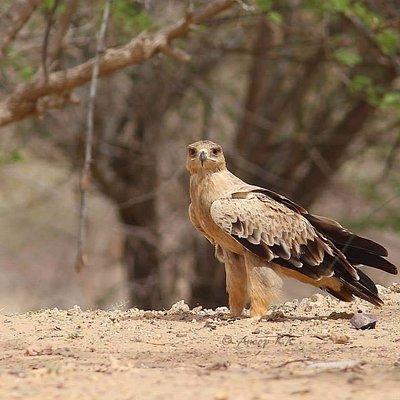 Majestic Tawny Eagle
