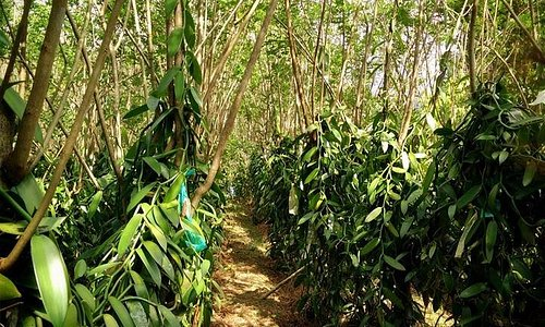 Rows of vanilla at the plantations.