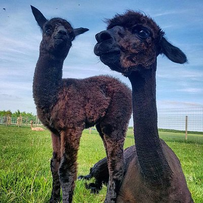 Our first cria born at Stubbs Farm - Arthur with his mother Fortuna