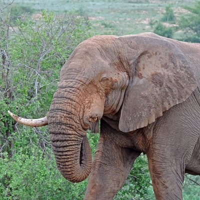 One tusker elephant bull on safari with Wild-Life Tours Africa