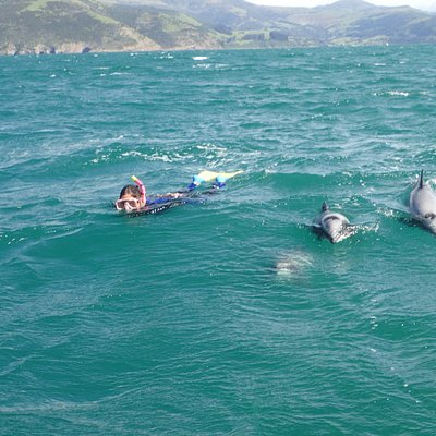 Swim with Hectors dolphins