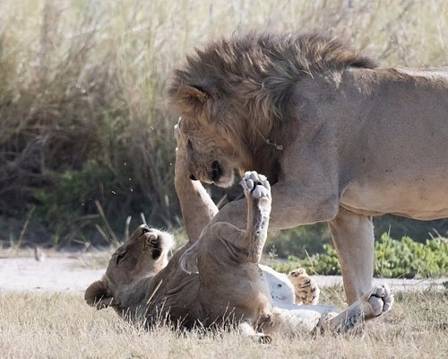 A lion and lioness