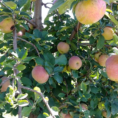 Lots of apples to pick