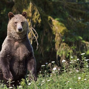 Grizzly bear standing up