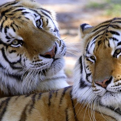 Sasha and Sergei our Siberian Tigers!!!