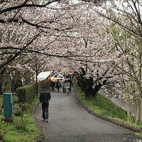 The cherry blossom arcade of Ebigawa (Ebi River)