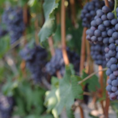 Nebbiolo grapes ready to be harvest!