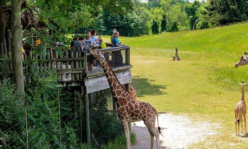 Giraffe platform in Wild Africa at Binder Park Zoo