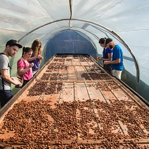 The drying of cacao pods before the grinding process.