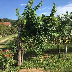 Les vignes à la porte du domaine