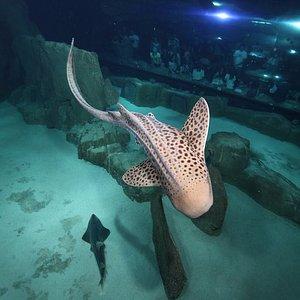 Requin zèbre