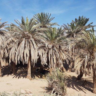 Palm tree Shahdad . Kerman province
