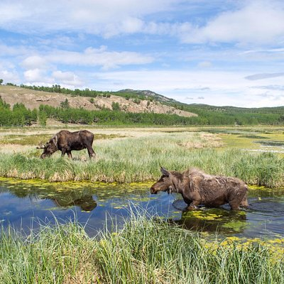 Moose and epic Yukon landscapes Credit YWP