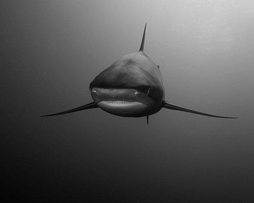 Requin soyeux, silky shark