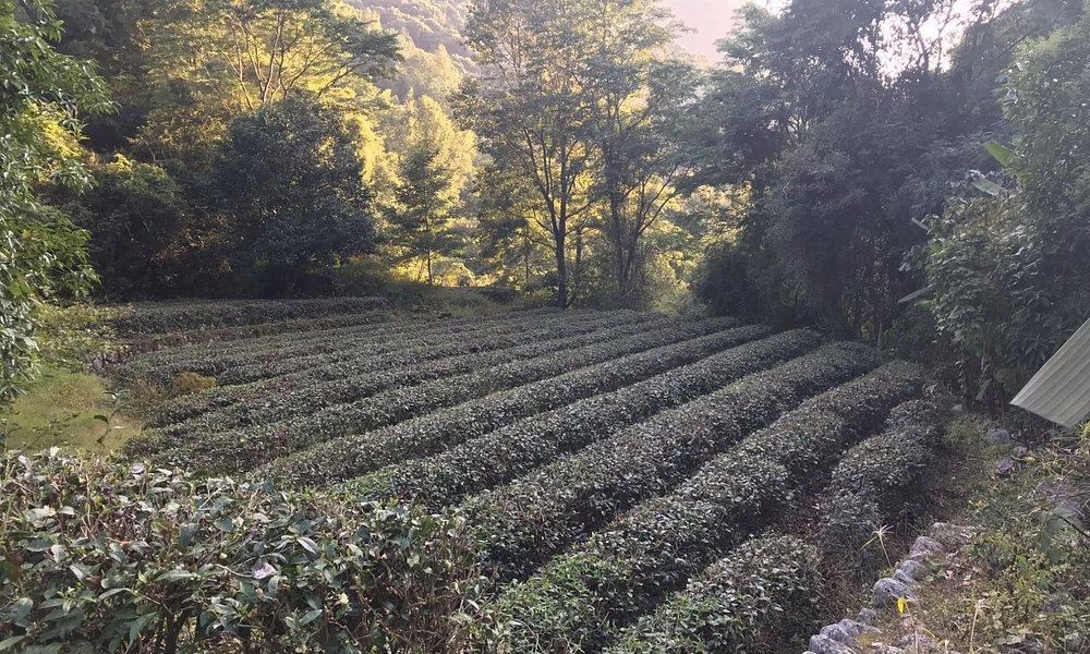 working tea fields