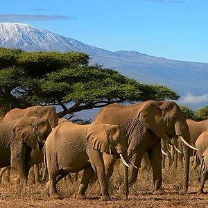 Kilimanjaro in the distance with elephant herd