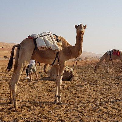 Bedouin camels