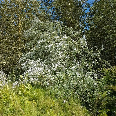 Summer 2017 - be aware of Giant Hogweed in the warmer months but a great dog walking forest.