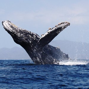 breahing humpback whale- whale watching