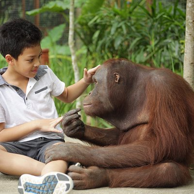 Valent, our friendly orang utan