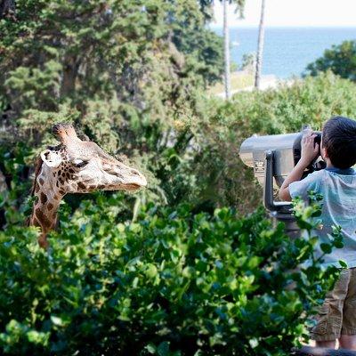 Giraffes with an ocean view!