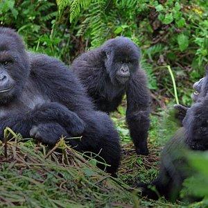 gorilla visit