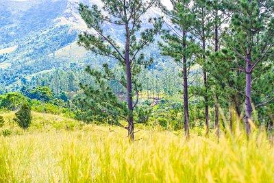 Beautiful nature - Pine trees