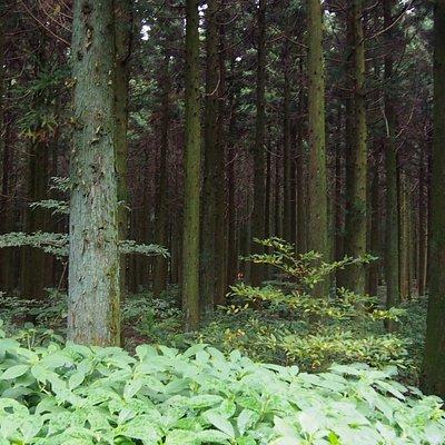 사려니숲길 중간에 있는 삼나무 숲