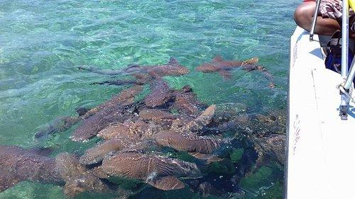 caye caulker shark and ray ally