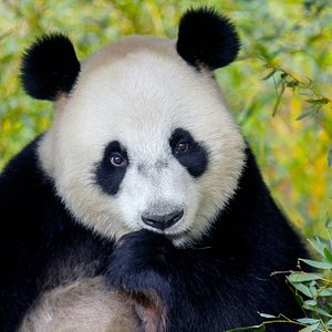Bewonder de unieke reuzenpanda's - Wu Wen