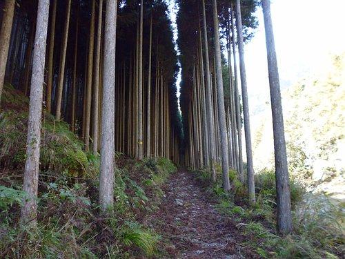 遊歩道の杉並木
