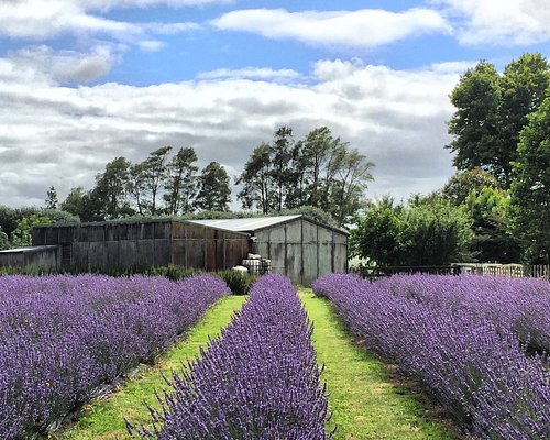 New Zealand, Hamilton, Lavender, Lavender Farm, Pick your own lavender, PYO, lavender essential
