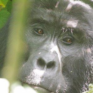 Gorilla Trekking In Bwindi Forest - Uganda.