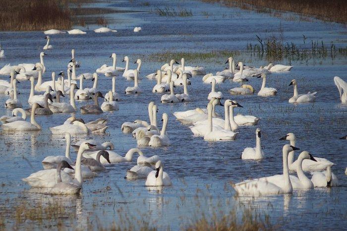 Tundra swans/Trumpeter Swans - Nov 2017