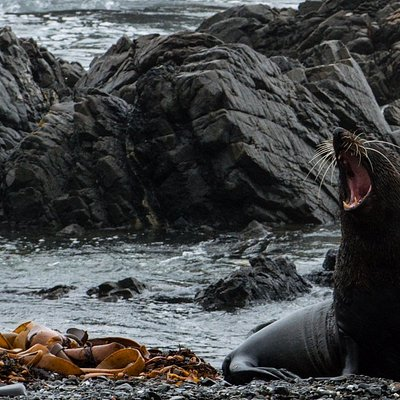 Native NZ fur seal