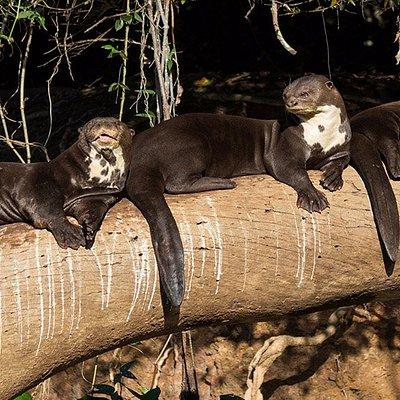 lobo de rio del parque nacional del manu