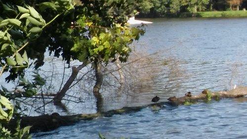 Kaczuszki wygrzewające się na zwalonym drzewie