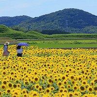 古墳群と向日葵
