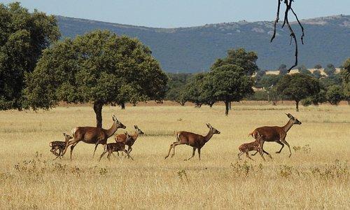 Ciervos corriendo por la raña
