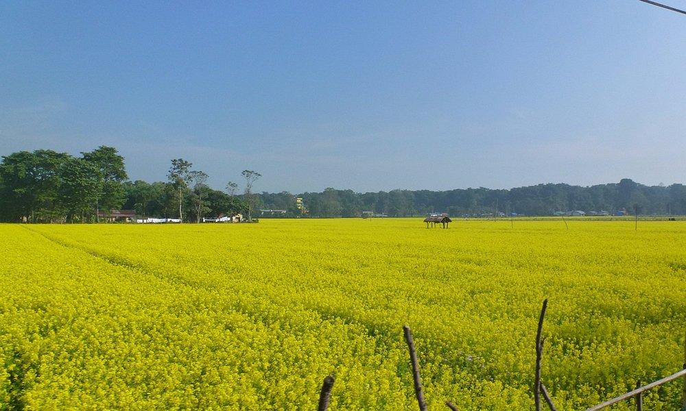 mustard fields near the city
