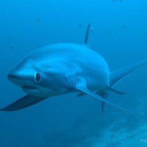 Thresher shark swimming towards the camera