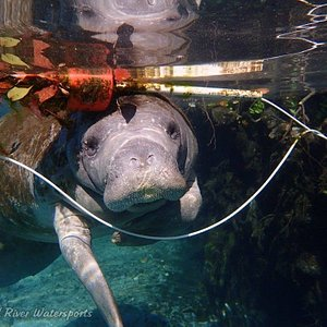 Colorful picture with manatee