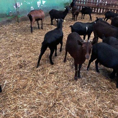 cabras de los Camerinos